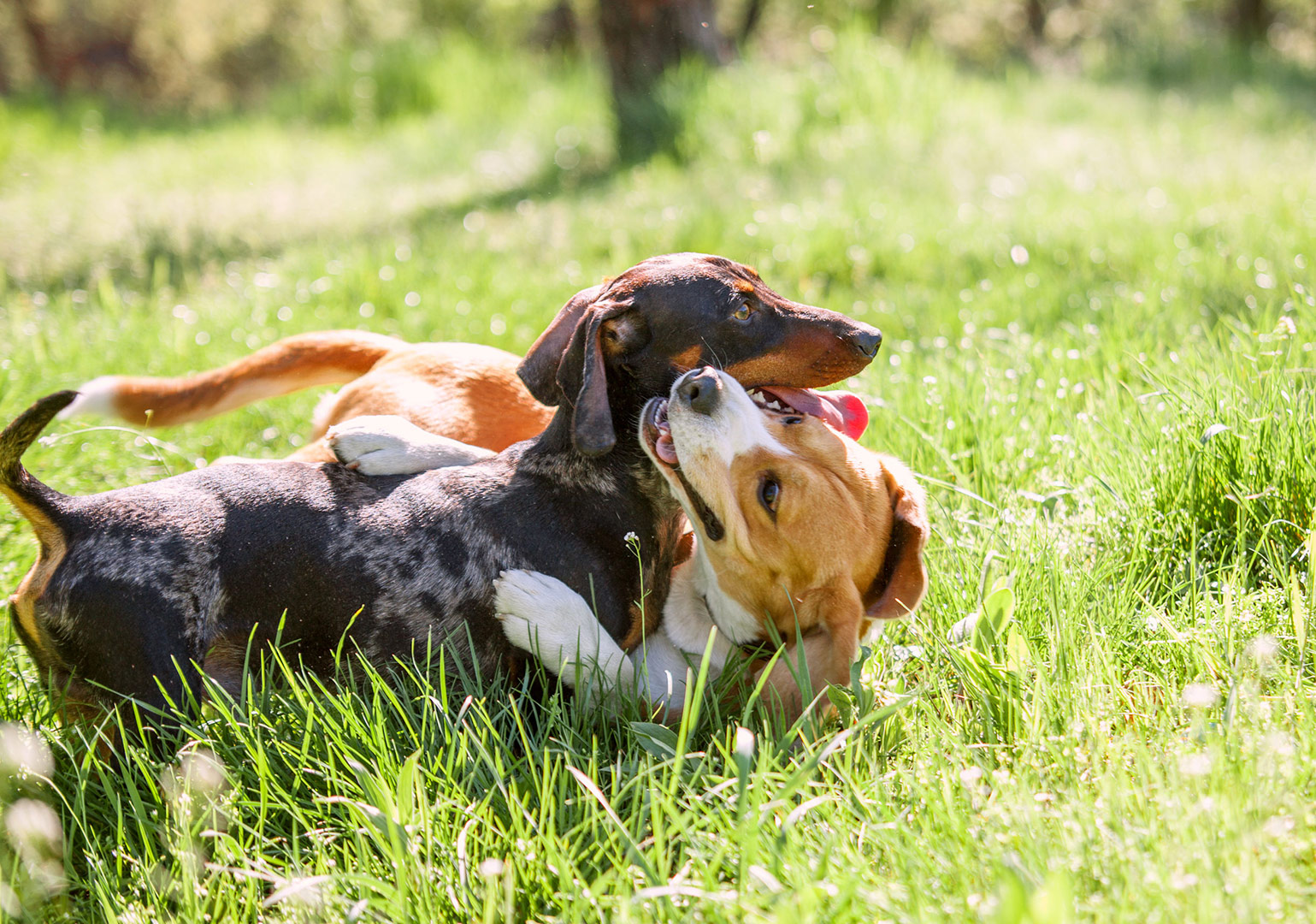 dachshund and beagle dogs playing together