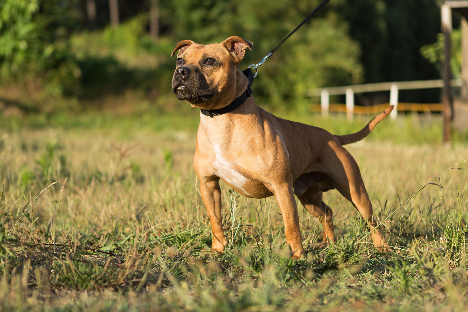 Staffordshire Bull Terrier out on a walk