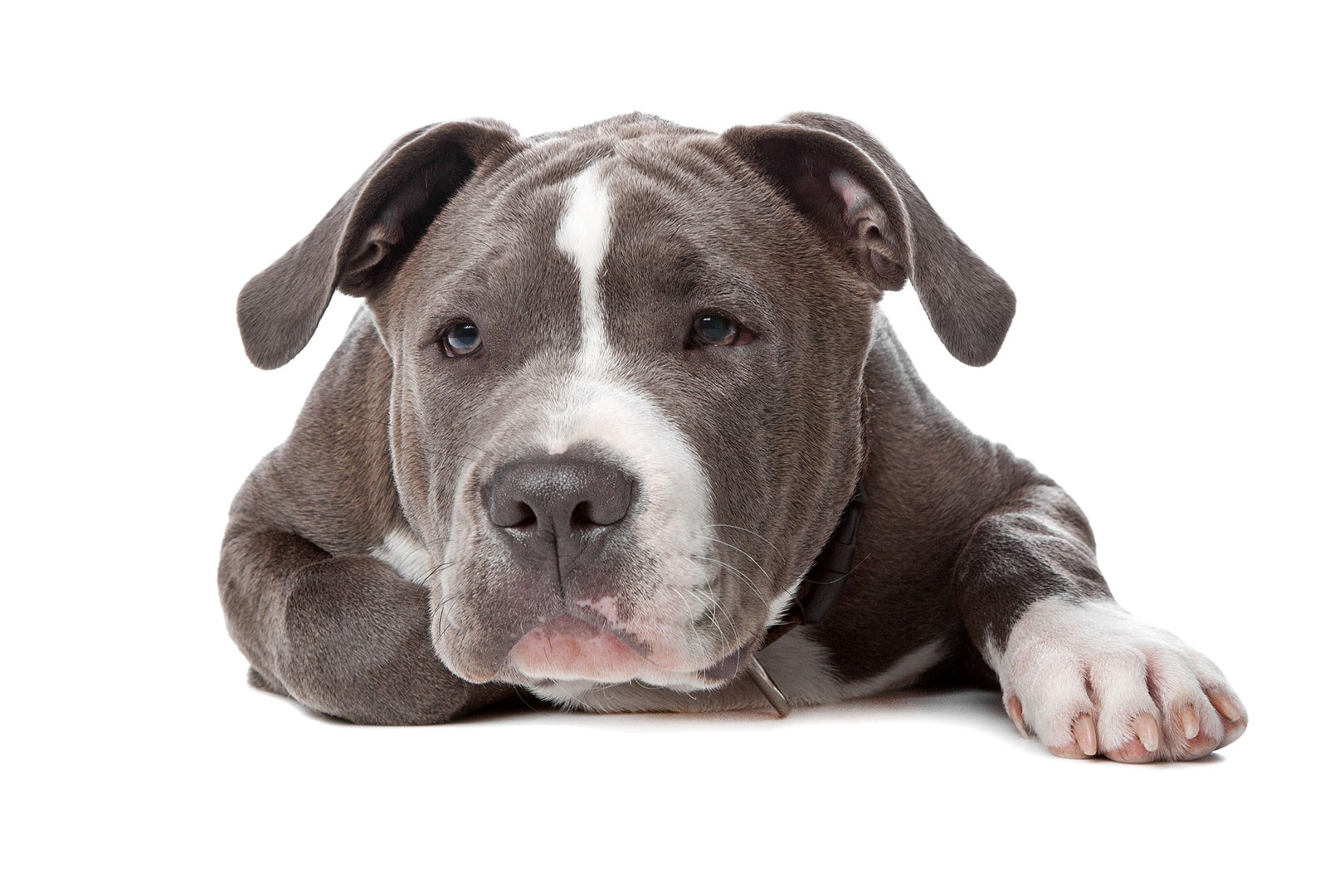 Staffordshire Bull Terriers – What Everyone Should Know ...