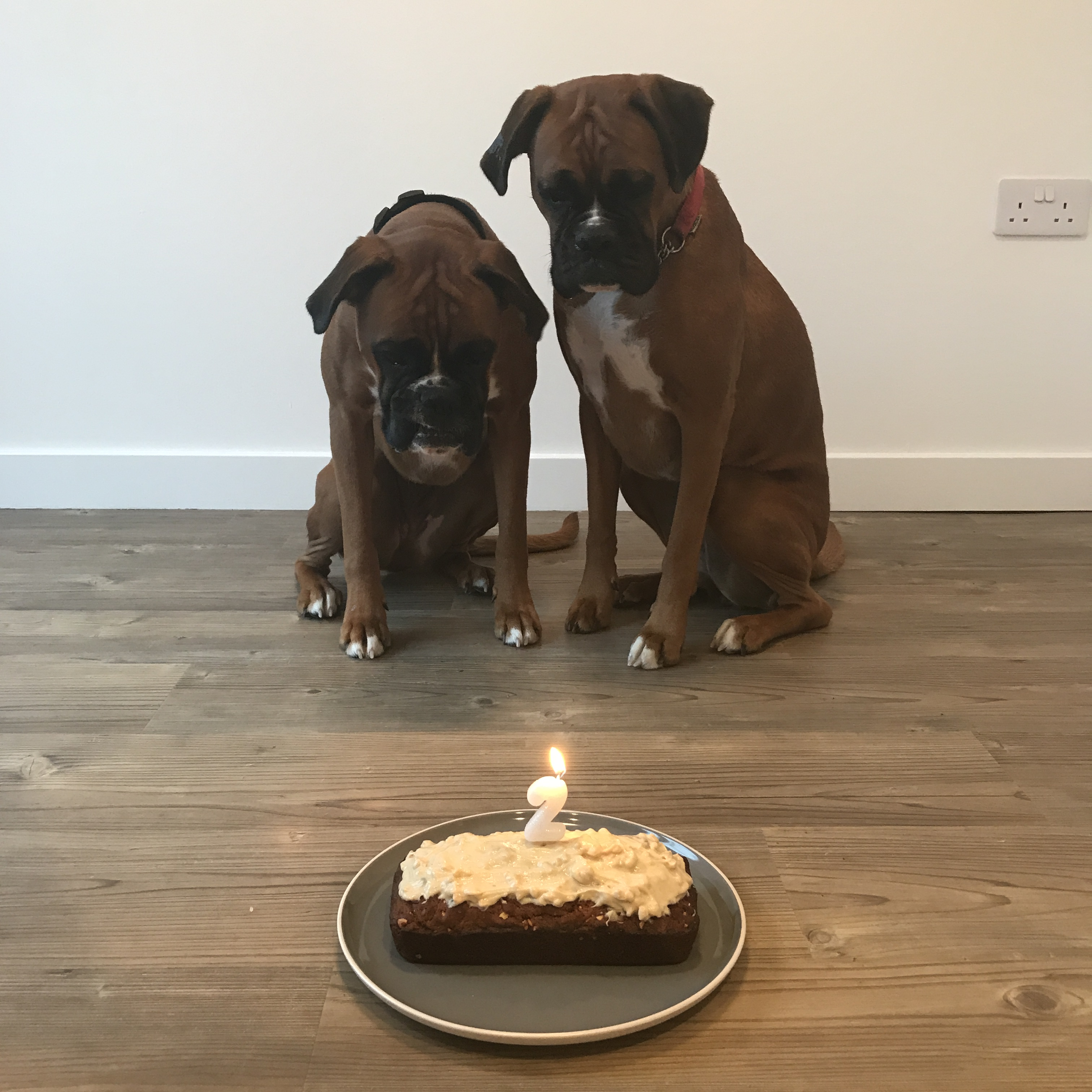 Two boxer dogs with their birthday cake