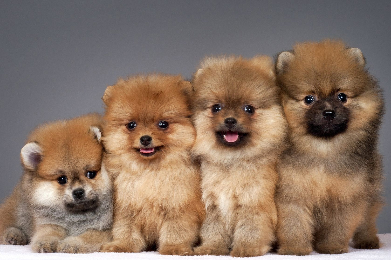 Pom-Pups-Waiting-To-be-Trained