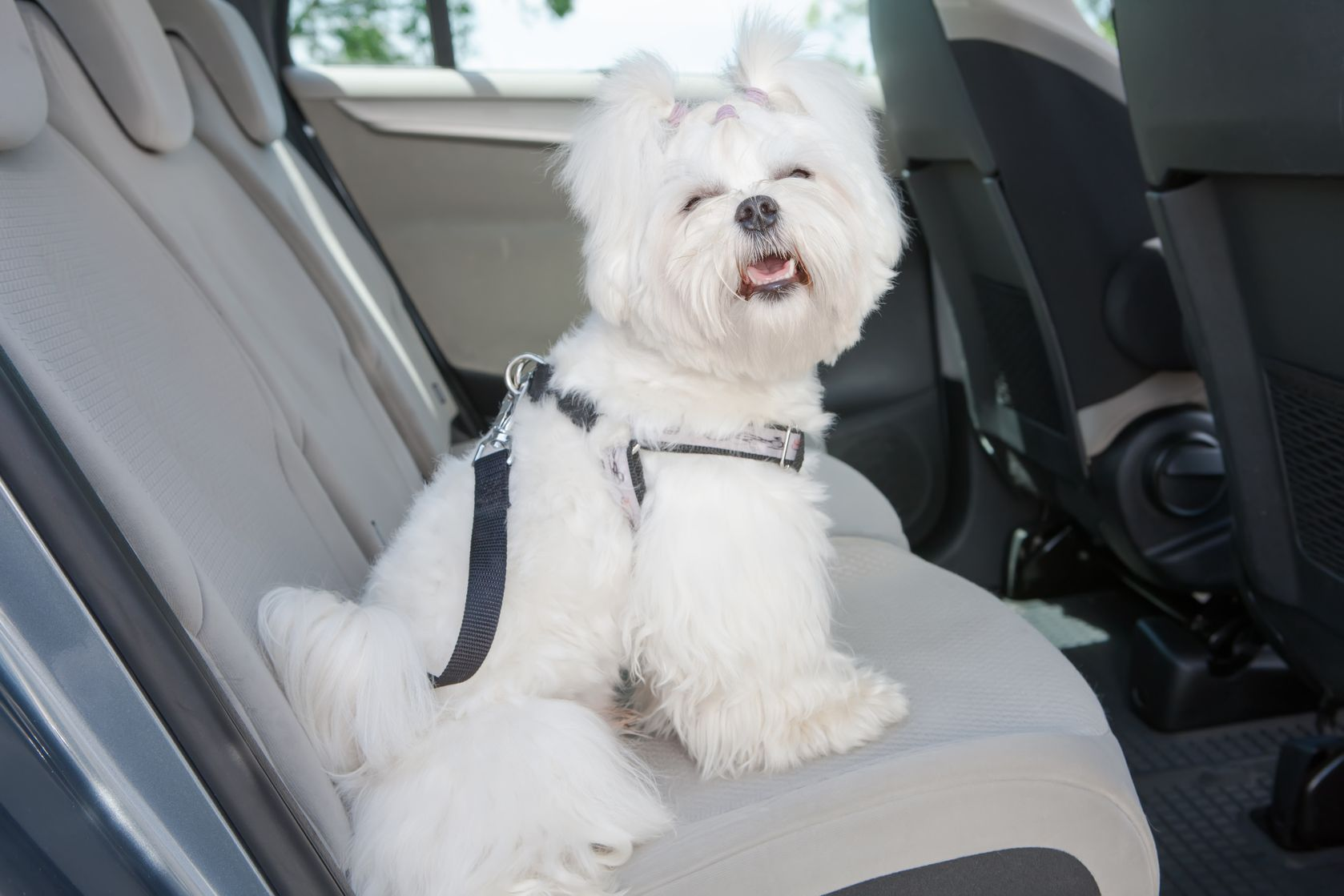 Dog-in-car-using-harness-safety