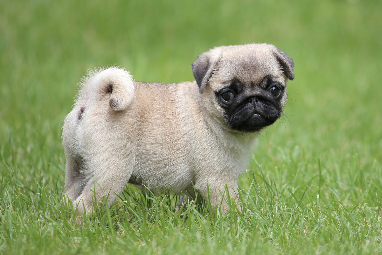 Pug-Puppy-Waiting-To-be-Toilet-Trained