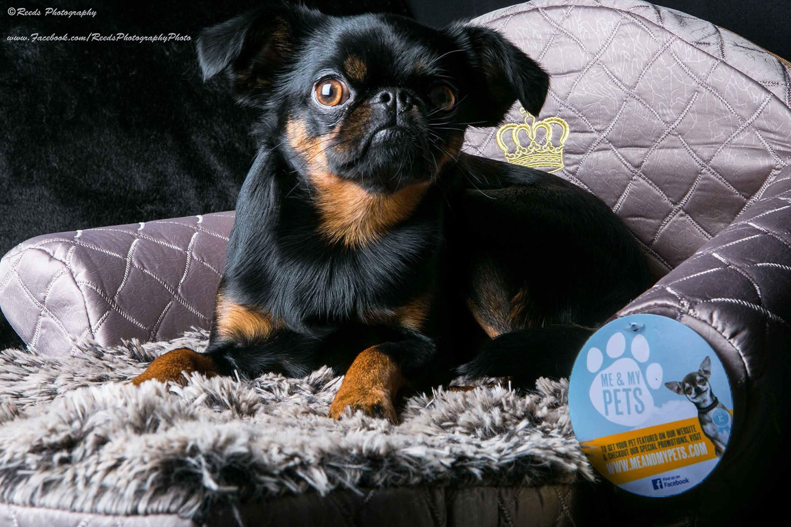 gorgeous small black and tan brussels griffon dog on her grey fold out sofa bed