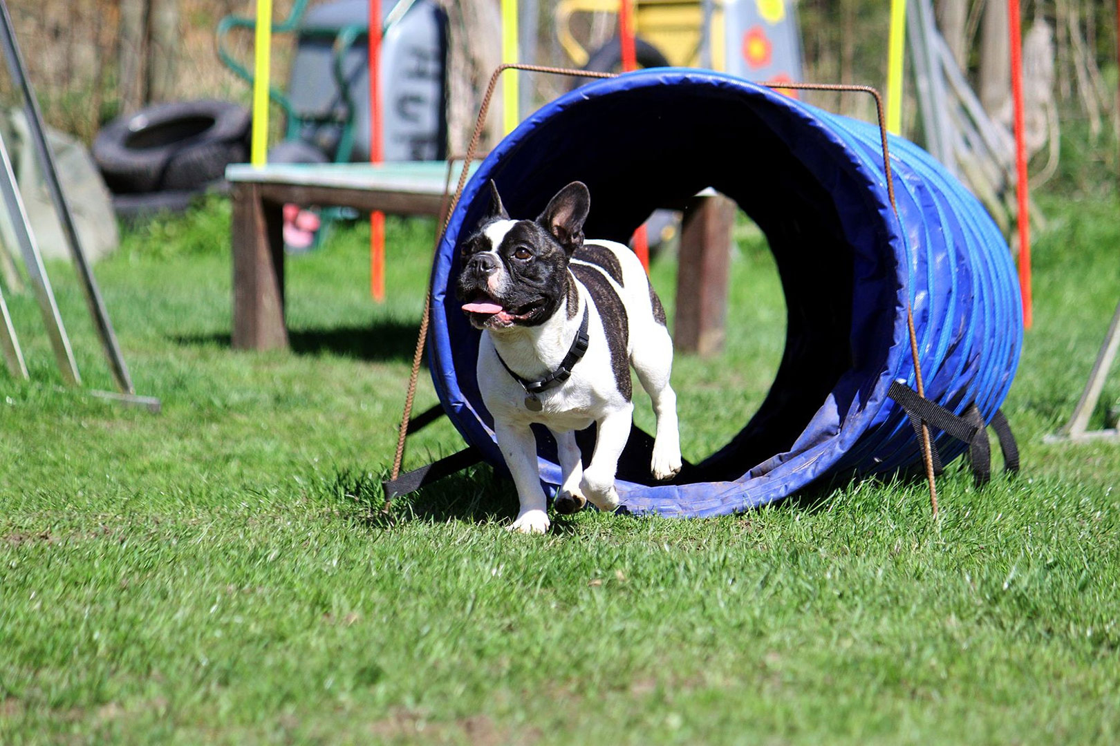 french bulldog playing in a dog tunnel outside in the sun