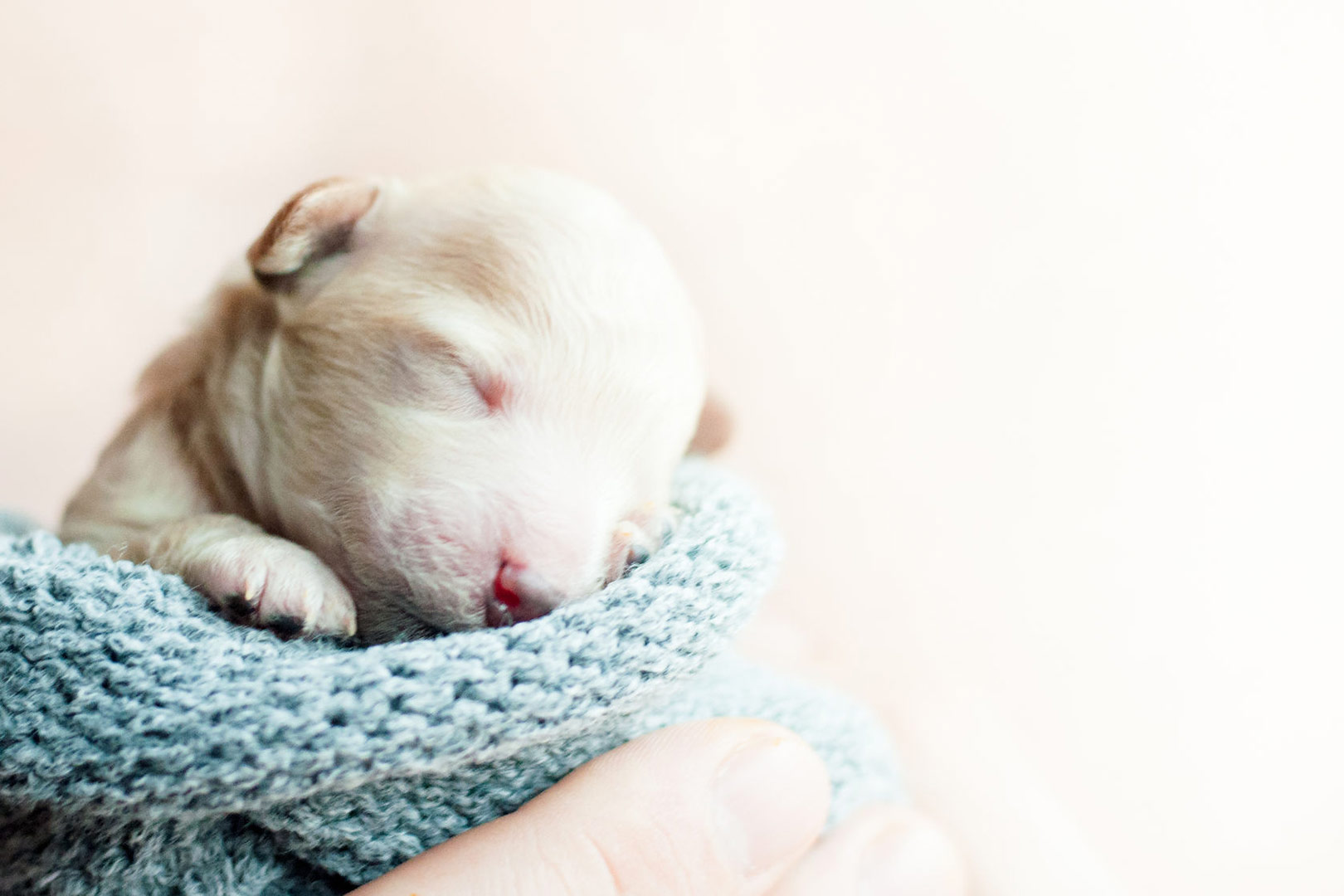 Me-My-Pets-blog-getting-a-puppy-picture-of-a-very-tiny-puppy
