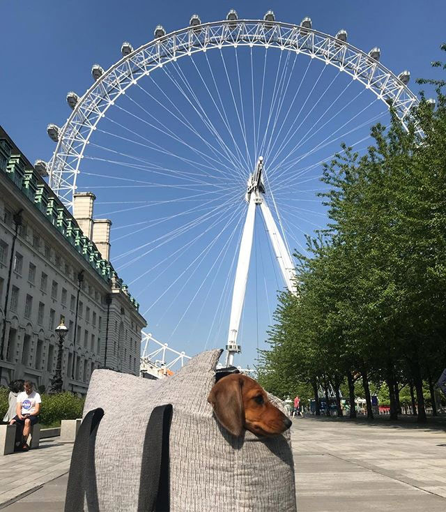 coco the mini dachshund is in her grey pet carrier posing under the london eye