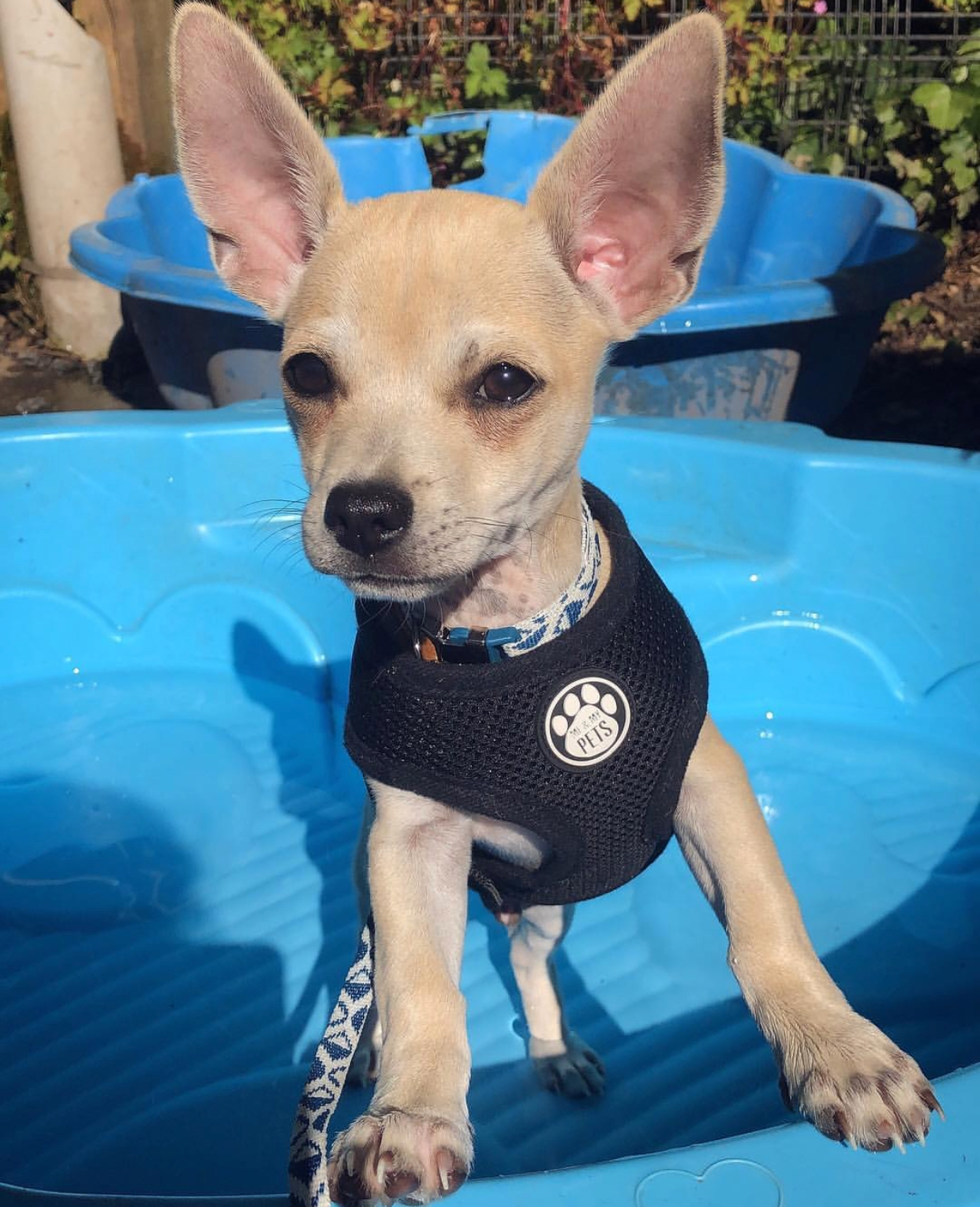 gorgeous tiny chihuahua with blonde fur in a blue paddling pool wearing a black mesh vest harness