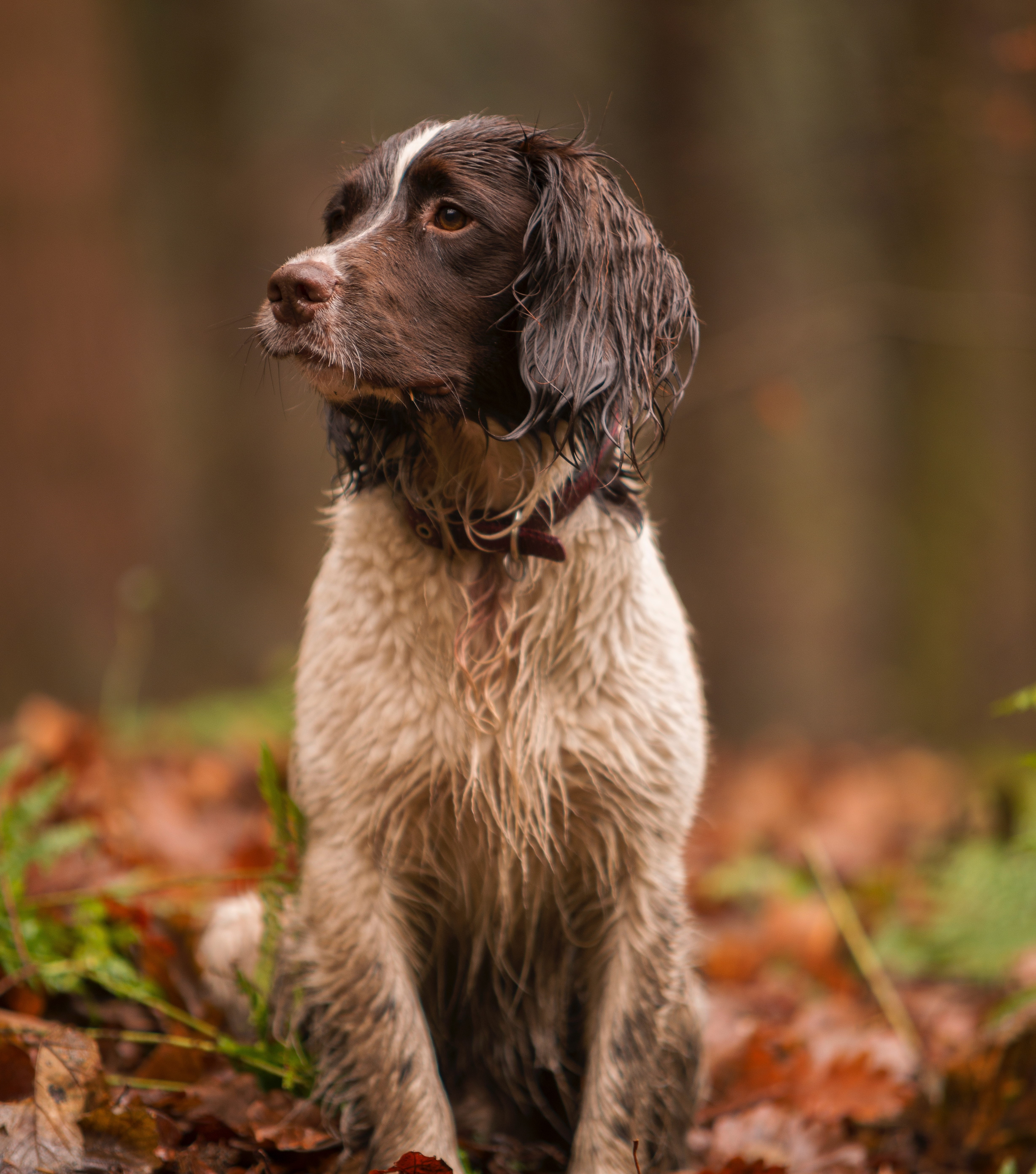 beautiful brown and white spaniel dog in the woods