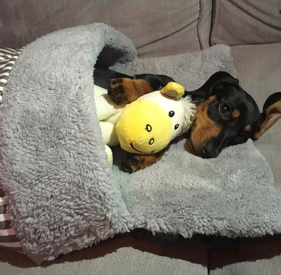 bellatrix-the-dachshund-cuddled-up-in-her-puppy-pouch-bed