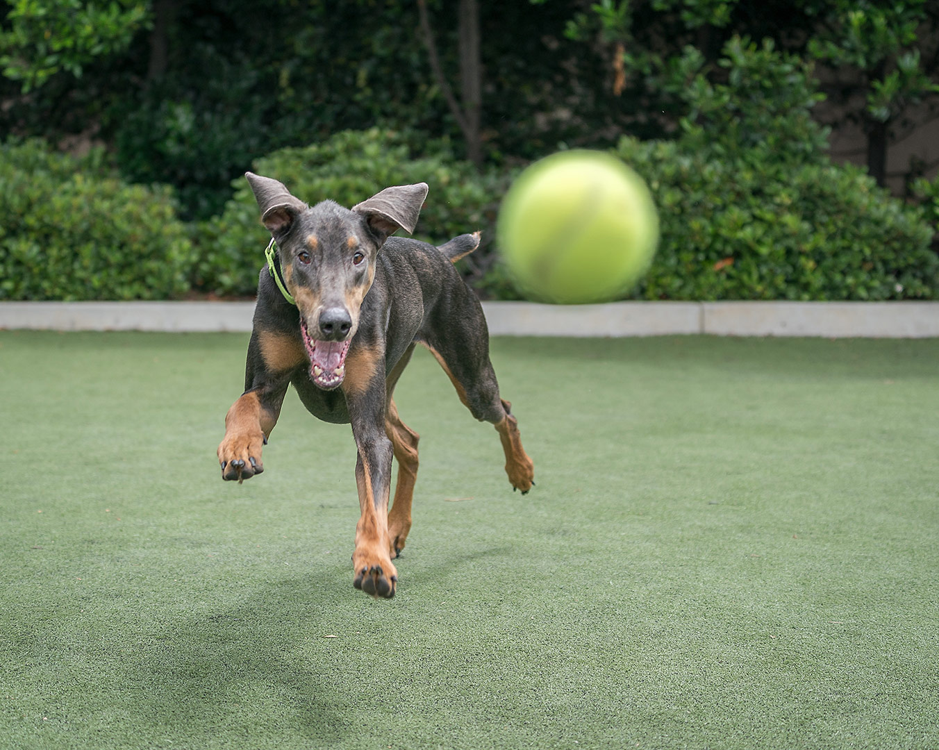 beautiful black and tan dog in motion with mouth open chasing a yellow tennis ball