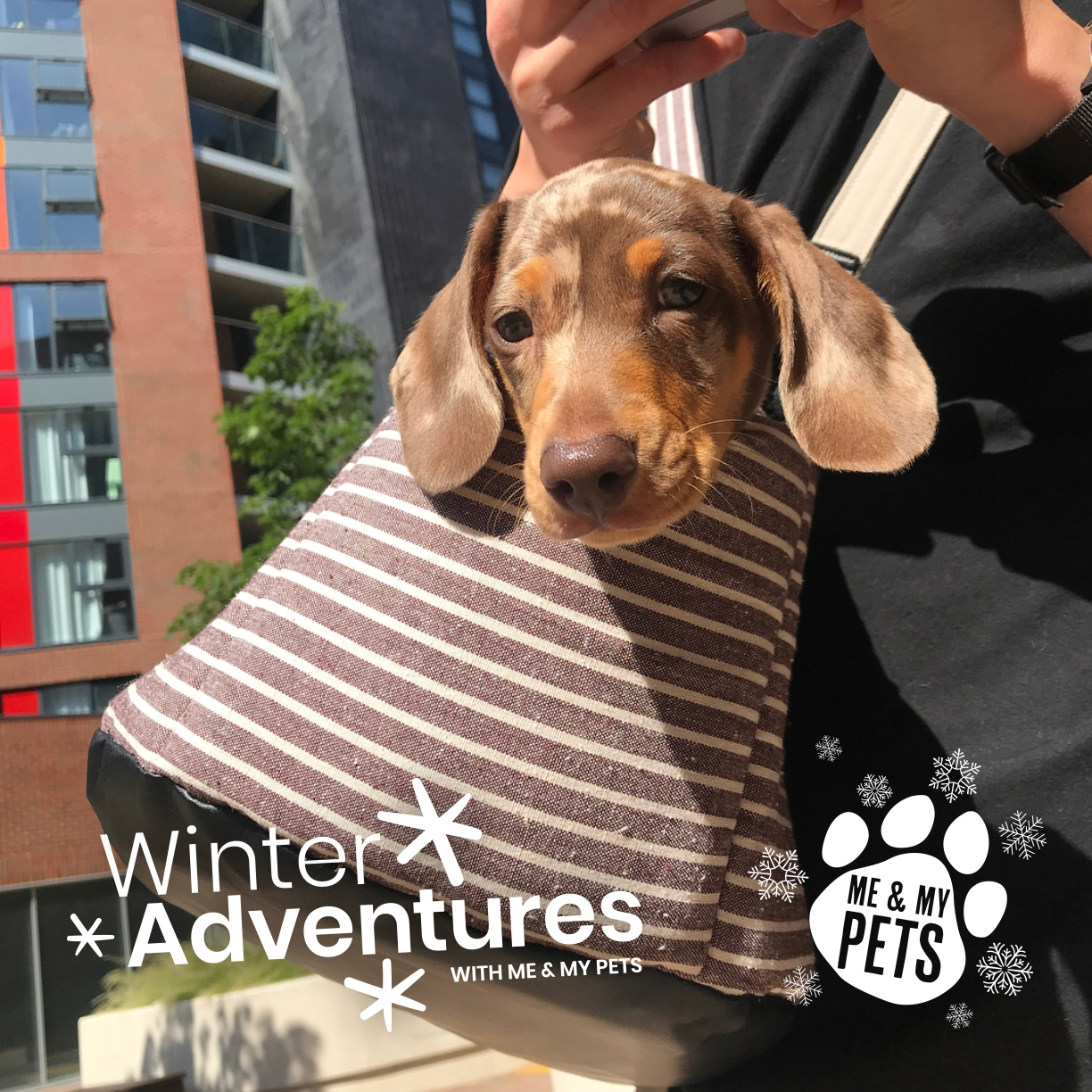 dachshund puppy in a brown stripe pet carrier just before a walk