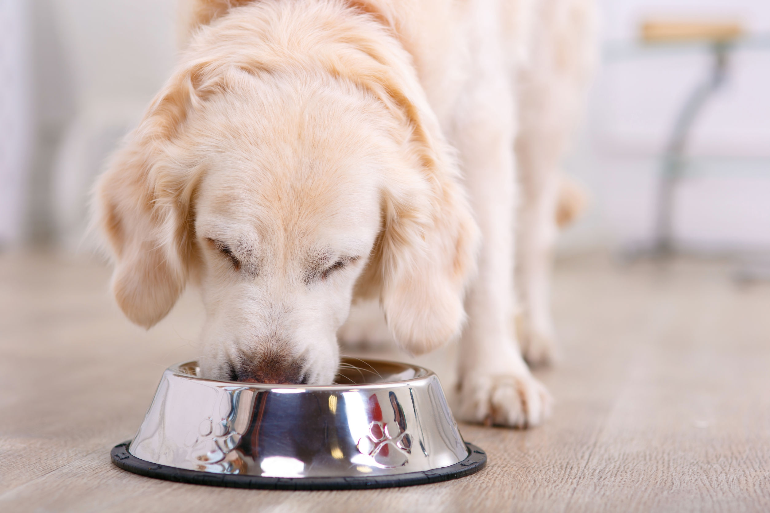 golden retriever eating dog food from a metal food bowl in the kitchen