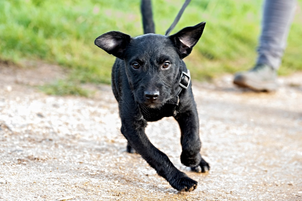 gorgeous patterdale terrior puppy running at the norwich group dog walk
