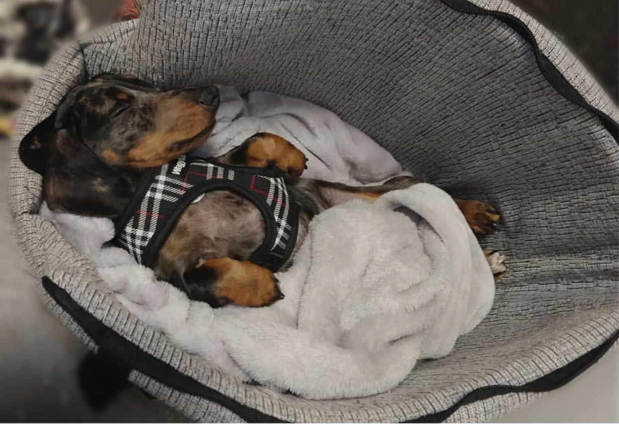 small-dachshund-puppy-wrapped-up-in-blanket-in-travel-carrier-bag-in-the-car