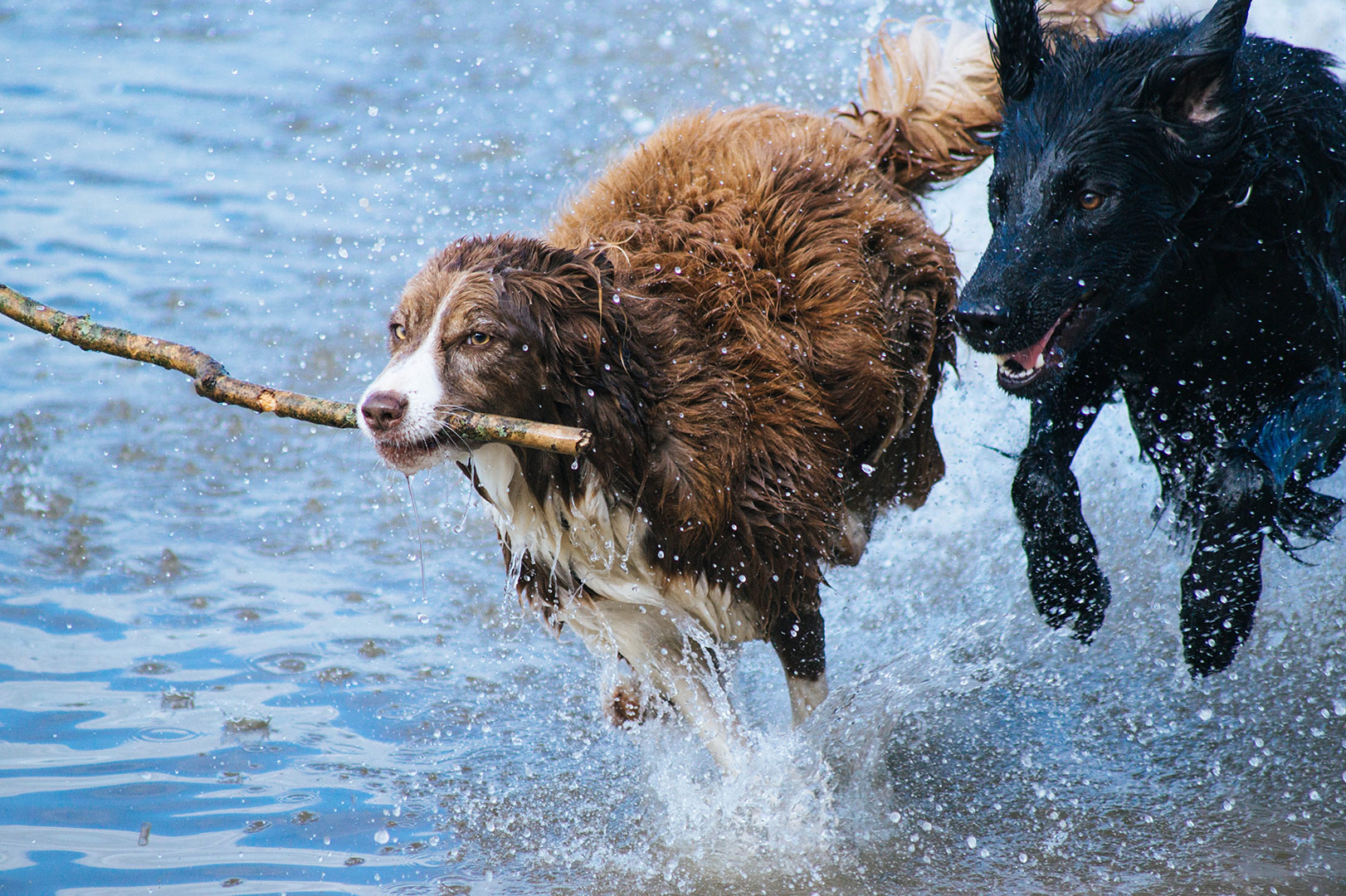 two beautiful long haired dogs running through the sea water with a stick