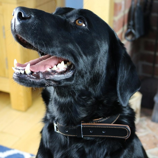 stunning black labrador wearing a black leather collar with a big smile on his face